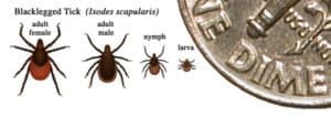 Blacklegged-Tick-300x114 Why Isn't Lyme Disease Covered By Insurance?
